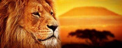 ritratto-del-leone-sulla-savanna-il-kilimanjaro-38638016